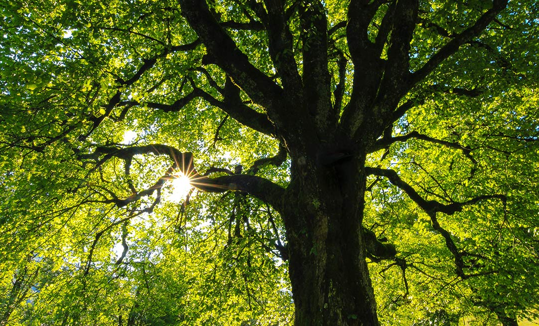 The sunlight through a canopy of leaves reveals the natural patterns and structure of a tree's form.