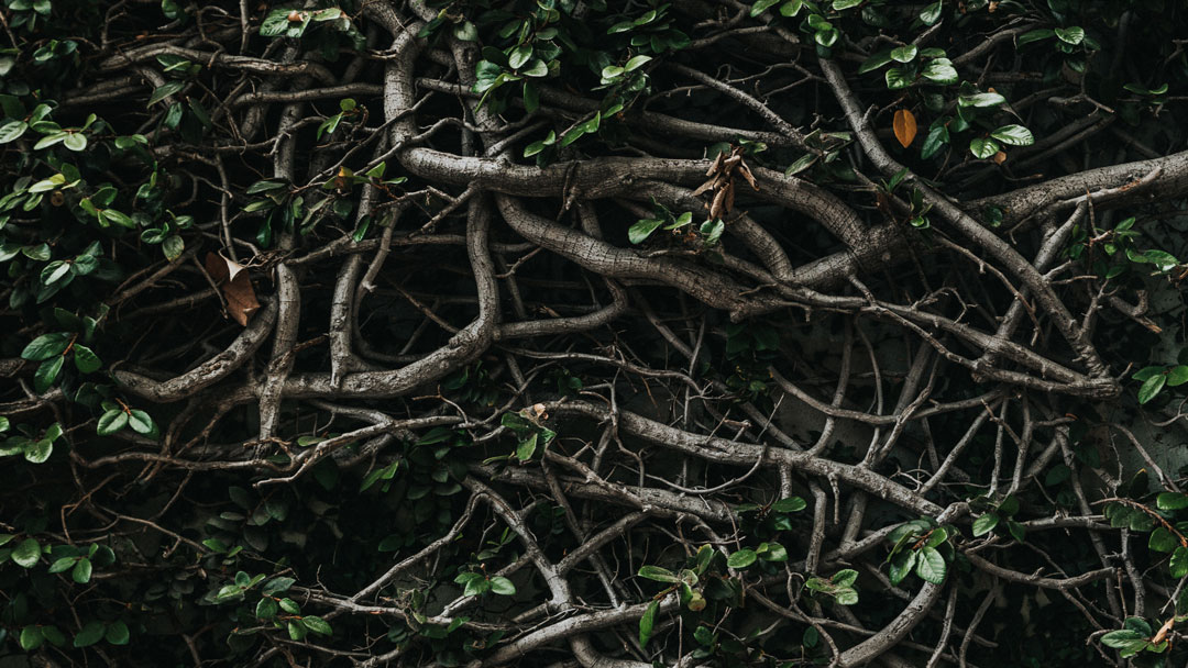 Tightly intertwined branches of vine.