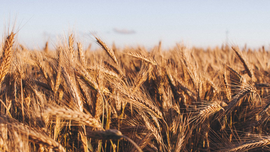 Shafts of wheat obscure the view into the wheat field.